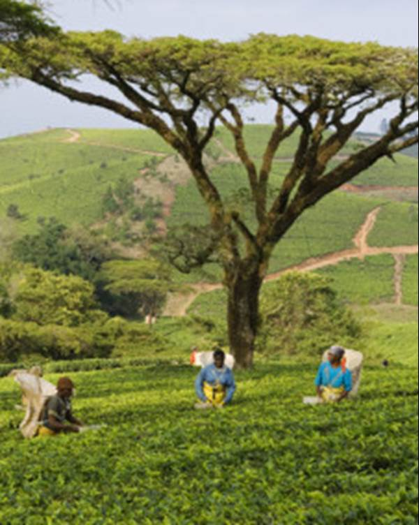 Satemwa Tea Estate