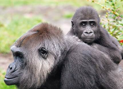 Gorilla Encounter - Lodges
